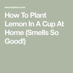 Healthy and refreshing. You can grow these in your own home, and all you need is a few lemon seeds. Start a lemon tree from seeds The Juice Of One Lemon, Fresh Lemon Juice, Cupping At Home, Lemon Seeds, Lemon Health Benefits, Oily Scalp, How To Relieve Headaches, Liver Cleanse, Shrink Pores