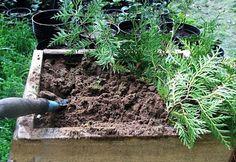 Tuja szaporítás - gazigazito.hu Bonsai, Gardens, Plants, Outdoor Gardens, Plant, Garden, House Gardens, Planets, String Garden