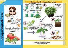 Bazsalikom, Ocimum basilicum - gazigazito.hu Herb Garden, Home And Garden, Horticulture, Herbs, Vegetables, Green, Permaculture, Herbs Garden, Garden Planning