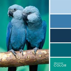 Синие попугаи | DiscoverColor.ru
