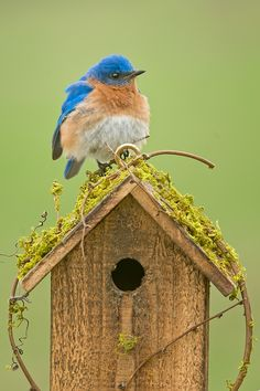 Eastern Bluebird on birdhouse