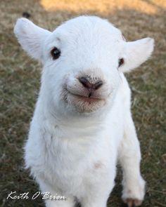 Baby Lamb | mammal and lamb | Tumblr