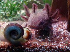 Axolotl Pet, Axolotl Tank, Rare Animals, Strange Animals, Pet Rats, Pets, Ocean Aquarium, Super Cute Animals, Reptiles And Amphibians