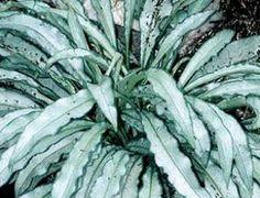 Pulmonaria 'Samuraï'.A lui seul le feuillage rend cette plante incontournable dans un coin ombragé où il fait l'effet d'un rayon de lumière! Fleurs bleues virant au rose très tôt au printemps. Floraison de mars à avril. Mi-ombre ou ombre.  H : 20 cm