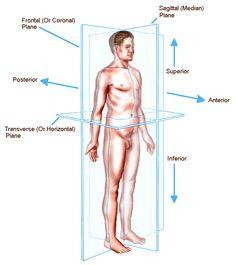Standard anatomical position : Diagram : Right, Left ,Medial ...