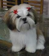poodle adult maltese puppy cut