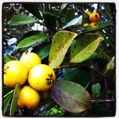 Lemon Guava tree psidium l.