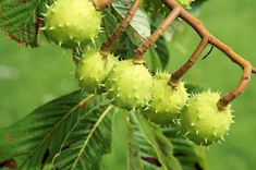 Find photos of Chestnut. ✓ Free for commercial use ✓ No attribution required ✓ High quality images. Nature Photos, High Quality Images, Planters, Black And White, Flowers, Bronze, Horses, Fitness, Recipes