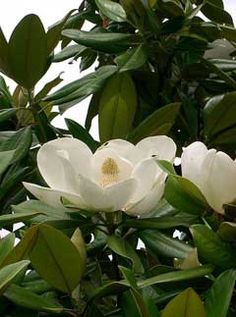 magnolia grandiflora...have a beautiful old magnolia in the front yard...smells divine when blooming...