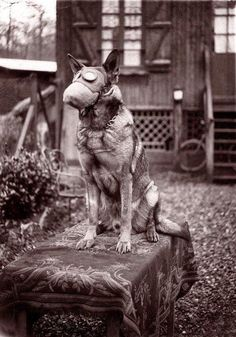 Dog wearing gas mask 1917