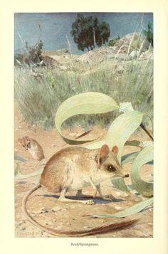 Kangaroo rat - from Brehms Tierleben (Brehm's Animal Life) - 1911.