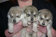 Puppies / Dogs For Sale - Mahlek Northern Inuit Dogs