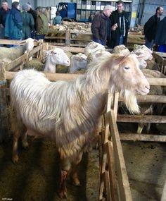 Chevre au marché ovin de Laissac