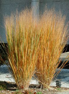 Panicum virgatum 'Rubrum', the red switch grass, shows reddish tones in the summer and turns crimson when night begin to cool down.