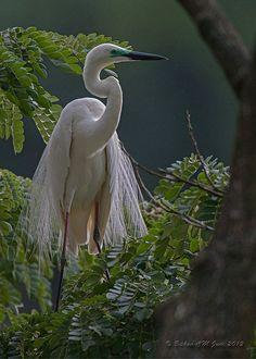 Snowy Egret in breeding plumage, Coorg, Karnataka