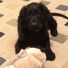 Flat coated retriever puppy :)   This is probably what shadow looked like as a puppy!