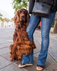 "Biron, Irish setter (4 Y/O), Piazza Riforma, Lugana, Switzerland • ""Mum Guard"". Via The Dogist on FB."