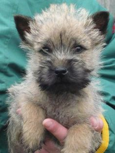 Cairn Terrier Puppies - Bing Images