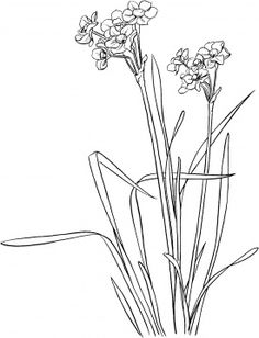 54 best paperwhite narcissus narcissus papyraceus images on narcissus 10 narcissus tattoonarcissus flowermonth flowerspaperwhite mightylinksfo