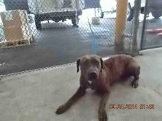 WILMA (A1647306) I am a female brown brindle Terrier mix.  The shelter staff think I am about 1 year old.  I was found as a stray and I may be available for adoption on 09/30/2014. — hier: Miami Dade County Animal Services. https://www.facebook.com/urgentdogsofmiami/photos/pb.191859757515102.-2207520000.1411908782./845211218846616/?type=3&theater