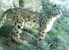 Snow leopard in Wakhan district, Afghanistan.