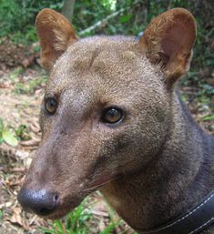 The Short-Eared Dog is found only in the Amazon rainforest.