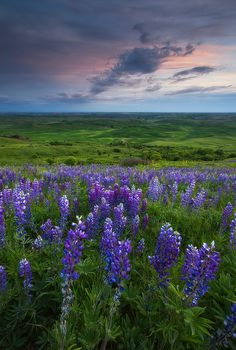 Palouse Lupine, Oregon