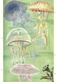bloemkoolkwal of zeepaddestoel of Rhizostoma pulmo