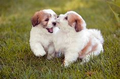 Royal Dogs of Madagascar. Coton de Tulear dogs are intelligent, fun-loving, energetic and often appear to be smiling.