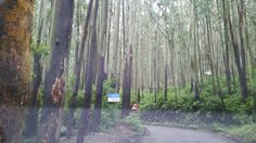 Eucalyptus forests on route to ooty