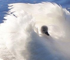 Cute animals,beautiful pictures,pink etc. Beautiful Swan, Beautiful Birds, Animals Beautiful, Animals And Pets, Baby Animals, Cute Animals, Pretty Birds, Love Birds, Swans