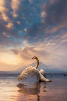 Hahnemuhle PHOTO RAG Fine Art Paper (other products available) - a Swan spread its wings with Mt. Fuji background - Image supplied by Fine Art Storehouse - Fine Art Print on Paper made in the UK Yamanashi, Shizuoka, Fine Art Prints, Framed Prints, Poster Prints, Canvas Prints, Hakone, Swan Drawing, Monte Fuji