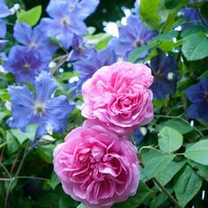 "Rosa Gertrude Jekyll with Clematis Perle D'Azur - from the blog ""Out of My Shed"""