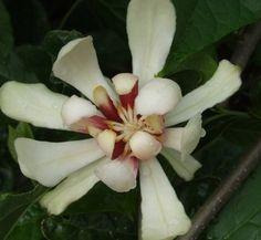 Calycanthus 'Venus' | Calycanthus x raulstonii 'Venus ...