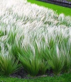 Federgras (Stipa) - All For Garden Modern Landscaping, Landscaping Plants, Garden Plants, White Gardens, Small Gardens, Outdoor Gardens, Miscanthus Sinensis Gracillimus, Stipa, Ornamental Grasses