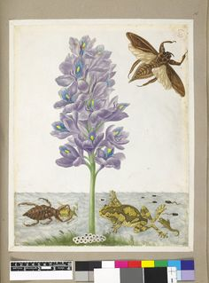 Water hyacinth, with examples of an insect, frog and another aquatic creature, from an album of 91 drawings entitled 'Merian's Drawings of Surinam Insects &c'; one creature devouring a frog, with tadpoles and spawn Watercolour and bodycolour, heightened with white, and with pen and grey ink, on vellum. Drawn by: Maria Sibylla Merian. School/styleGerman. Date1701-1705 (circa).