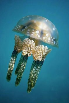 The spotted jelly, lagoon jelly, golden medusa, or Papuan jellyfish, is a species of jellyfish from the Indo-Pacific oceans. Underwater Creatures, Underwater Life, Ocean Creatures, Beautiful Sea Creatures, Animals Beautiful, Unique Animals, Fauna Marina, Water Animals, Baby Animals