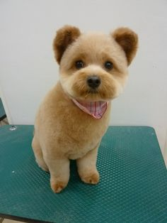 I'm not a fan of Pomeranians, but this shit is adorable. It's like a tiny bear!