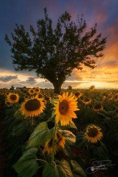 "Last warrior - A spectacular sunset in a field of sunflowers!! ""https://www.instagram.com/gianlucapodesta/"">Instagram</a>"