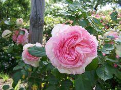 Pierre de Ronsard, rosier grimpant