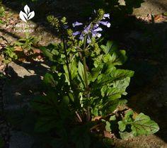 Salvia lyrata native groundcover Central Texas Gardener