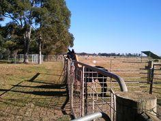 Alpacas @ Creswick, Victoria