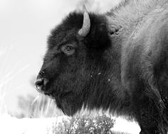 Black and white buffalo pictures cheerleader topless you