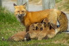 Your daily break from life featuring fabulously fuzzy animals. Cape Breton, Isaiah 1, Wildlife, Fox, Cute, Check, Photography, Animaux, Photograph