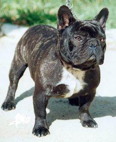 bulldog francés | Tipos e Raças / Cães /Bulldog Francês