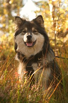 Dixie (finnish lapphund) at Hovden, Norway