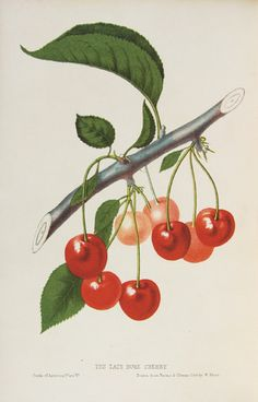 Botanical Illustration - discussion on why it was important to record details to protect intellectual property before modern copyright laws