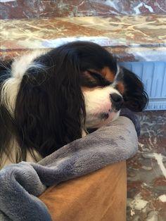 Teddy Bear, my sleeping beauty baby dog, Tricolor Cavalier King Charles Spaniel, 6.9.16 - EK