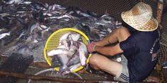 Khảo sát hoạt tính enzyme amilase và khả năng tiêu hóa in vitro tinh bột của cá tra (Pangasianodon hyphothamus) đối với một số nguyên liệu và thức ăn