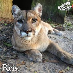 Reise -- Female Cougar PronouncedRYE-zuh and is German for Journey Big Cat Rescue, Tampa FL